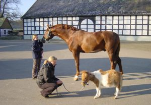 Pferde, Hengst und Pony